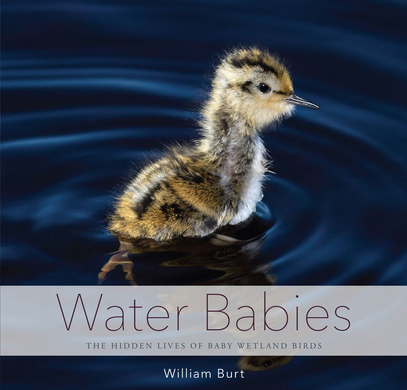 Book cover for Water Babies by William Burt